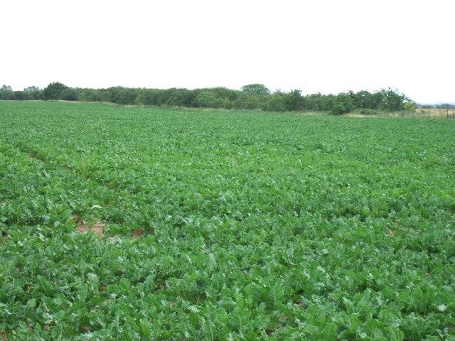 Sugar beet crop off Spice Chase