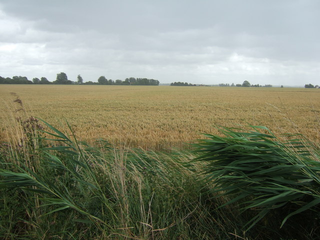 Reeds and wheat during a storm
