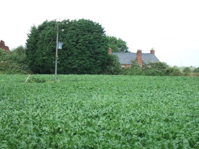 Sugar beet near West Drove Farm