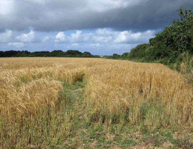 Barley near Trebarber