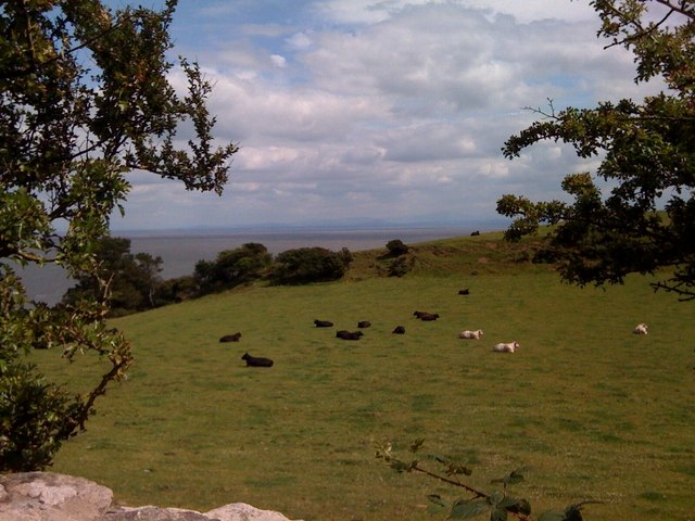 Cows in Portling