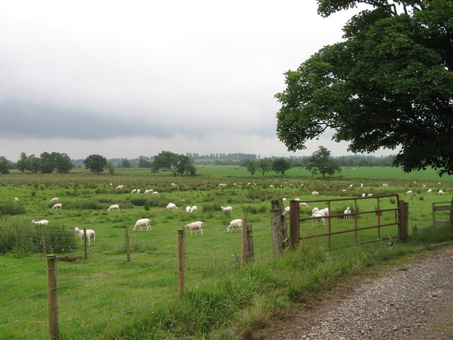 Field of sheep south of Dormanstead Farm
