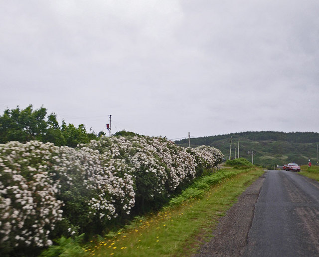 Floriferous shrubbery row along the single track road