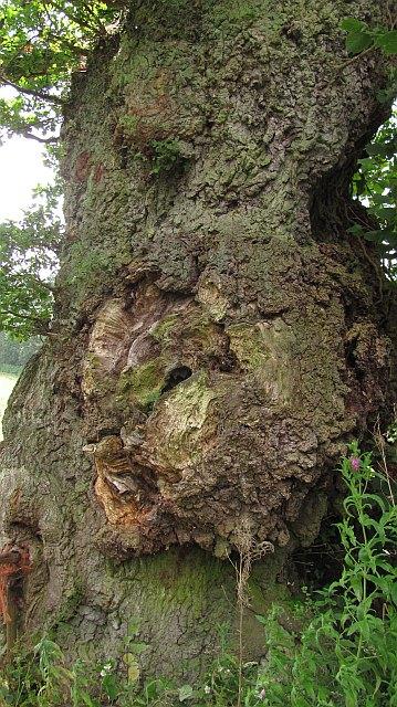 A Hope Dale oak