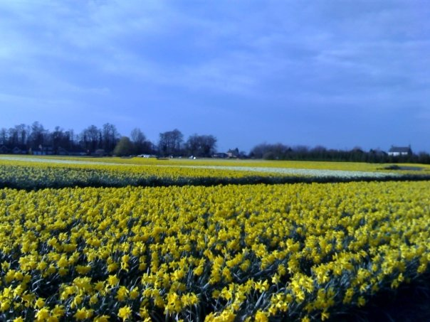Daffodil field between Whaplode and Moulton