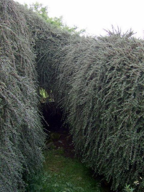 Cotoneaster at Blaen-waun