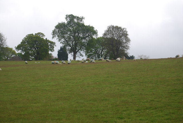 Sheep grazing on the edge of Horsted Keynes