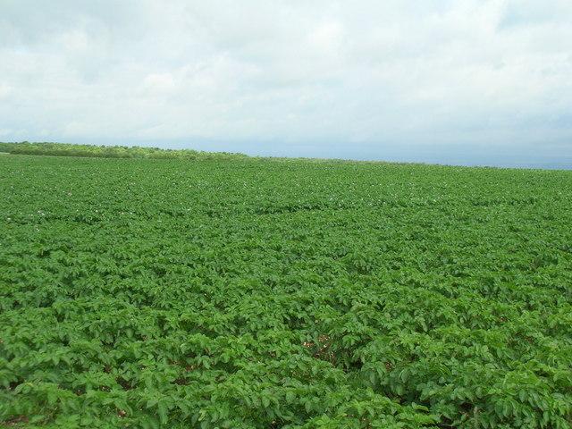 Potato field, South Wold