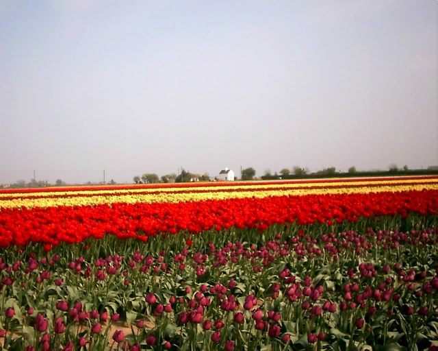 Tulip field between Whaplode and Moulton
