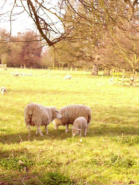 Moulton Park ewes with new lambs