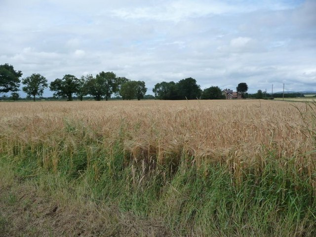 Wheat field in front of Crowtree House