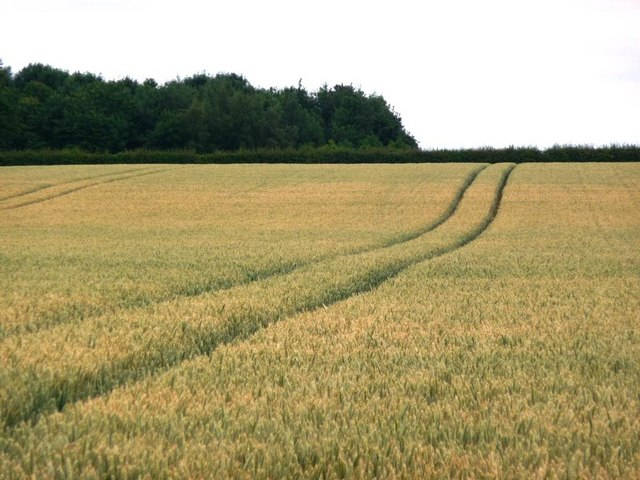Tracks in the wheat