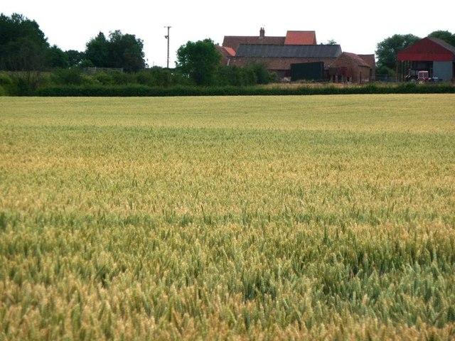 Wheat field  near Little Hutton