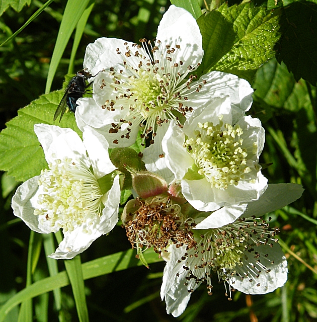Bramble (Rubus fruticosus)