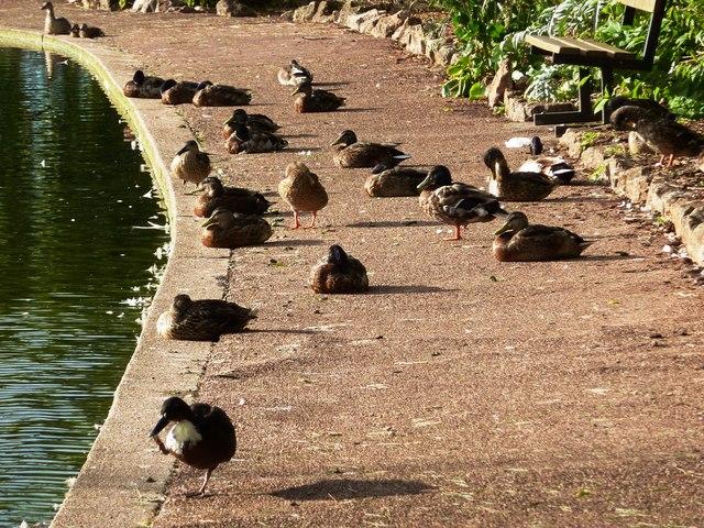 Dozy ducks, The King's Gardens, Torquay