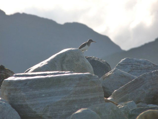 Common Sandpiper at home on Quoich shore