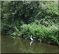 SU8503 : Heron on Canal Bank by Paul Gillett