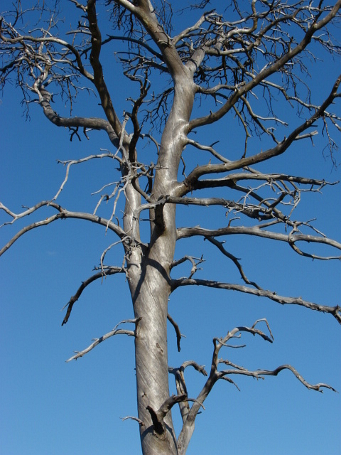 Dead tree, Pirbright Ranges