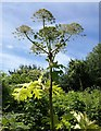 SX9066 : Giant Hogweed, Barton tip : Week 29
