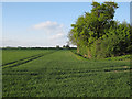 TL5062 : Wheat field off Harcamlow Way by Hugh Venables