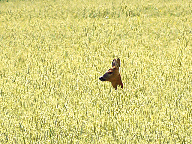 Roe deer in cornfield