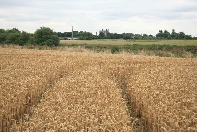Ripe Corn with the River Trent beyond