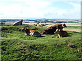 NT5078 : Cows on the Chesters hillfort, East Lothian by kim traynor
