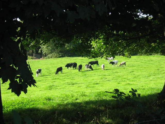 Cows at Johnstown, Co. Meath