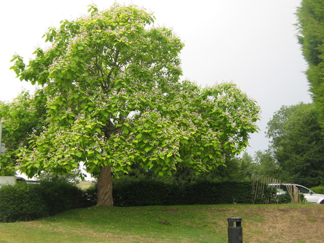 catalpa bignonioides 39 aurea 39 david anstiss geograph britain and ireland. Black Bedroom Furniture Sets. Home Design Ideas