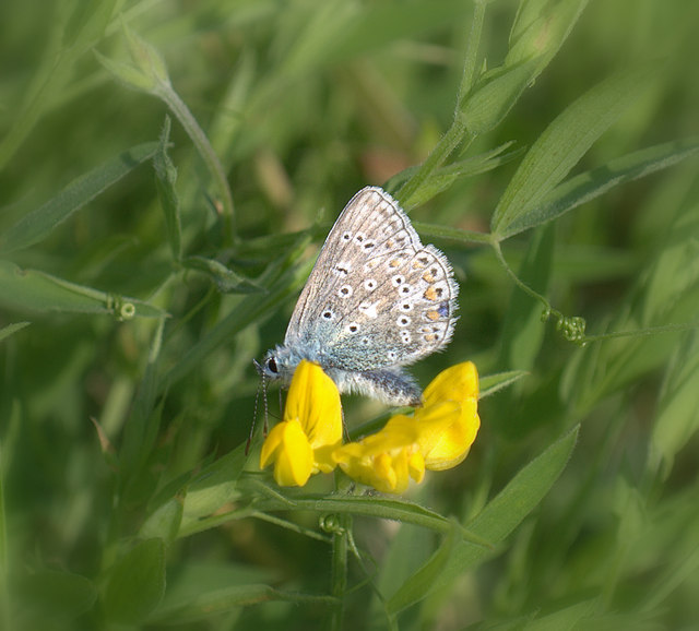 Common Blue near Goose Dub Farm