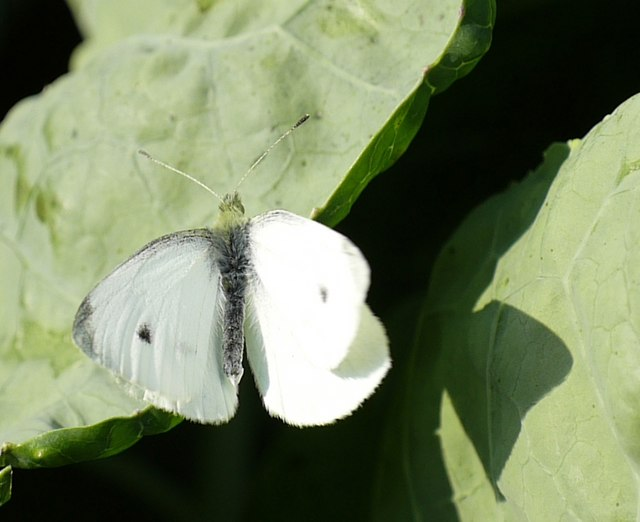 Male Small White Butterfly?