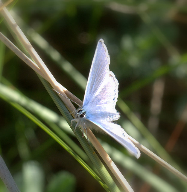 Common Blue on the Velvet Trail