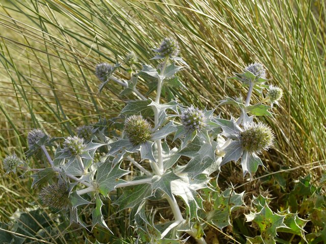 Sea Holly and marram