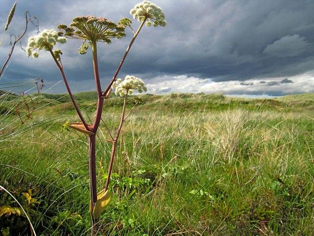 Forvie: sand dune vegetation and distant rain clouds