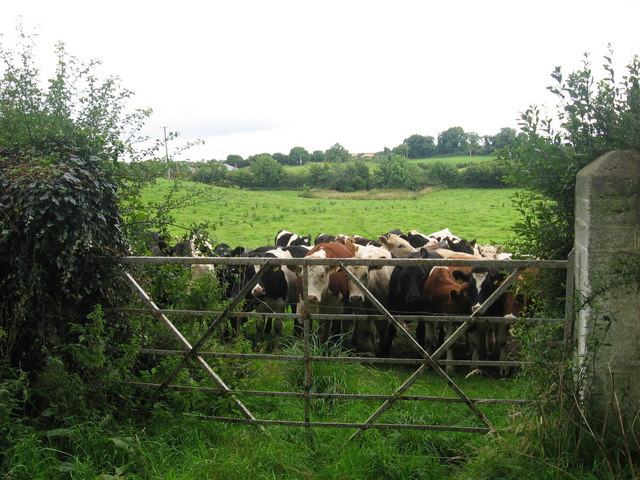 Cows at Chanonrock, Co. Louth (2)