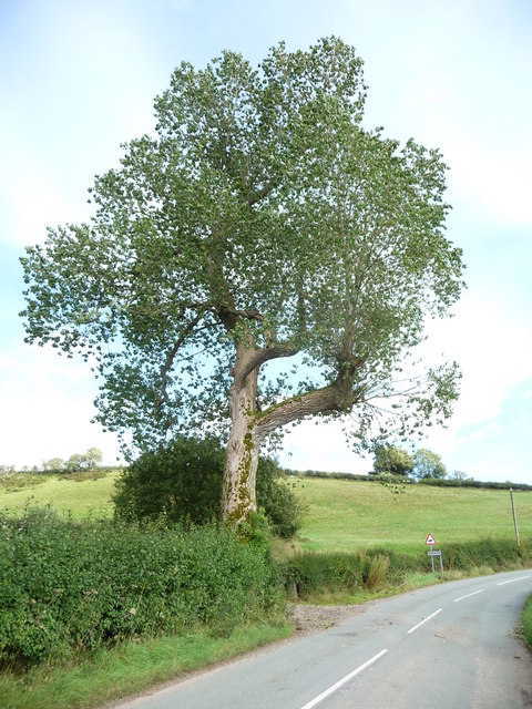 Black poplar, Anchor