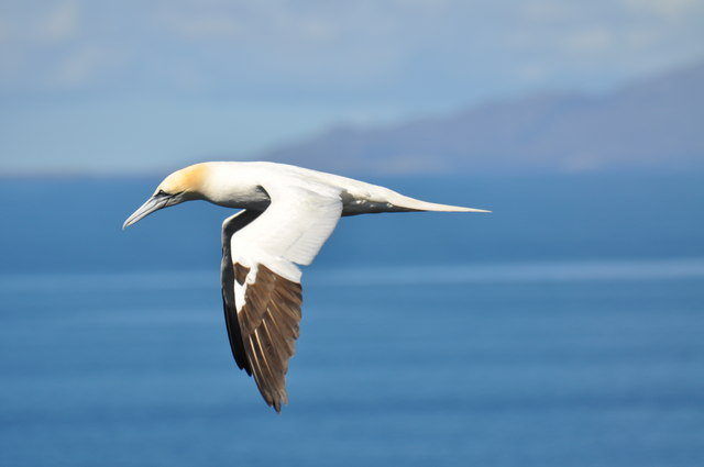 Gannet in flight at Neist Point