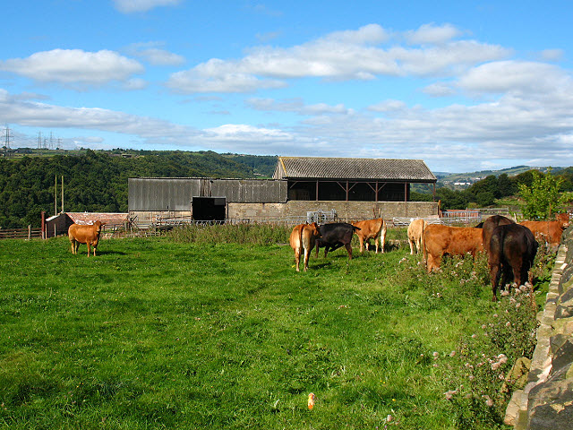 Cattle at Exley Hall Farm