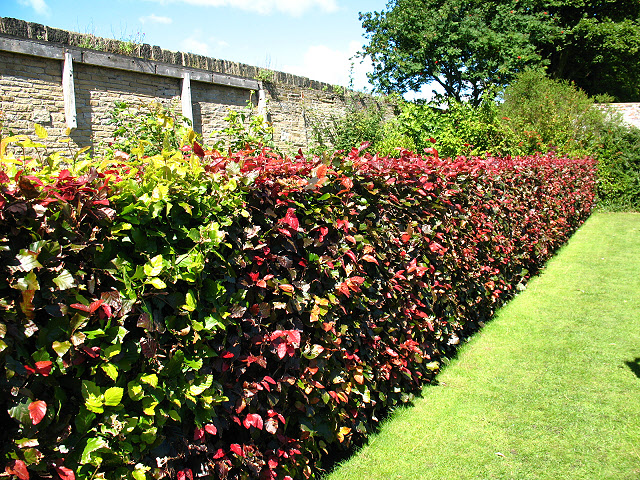 beech hedge in manor heath park stephen craven geograph britain and ireland. Black Bedroom Furniture Sets. Home Design Ideas