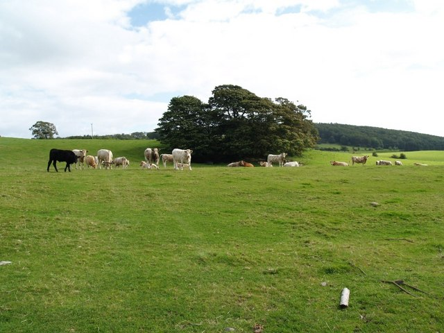 Cattle grazing near Mutehill