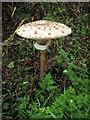 SO2889 : Impressive Parasol Mushroom  1 : Week 37