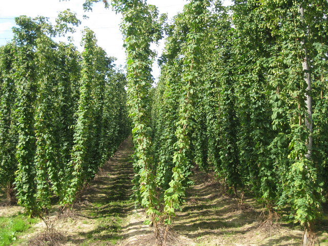 Hop Field at Hoad's Farm