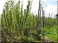 TQ8029 : Hop Garden, Hoad's Farm by Oast House Archive