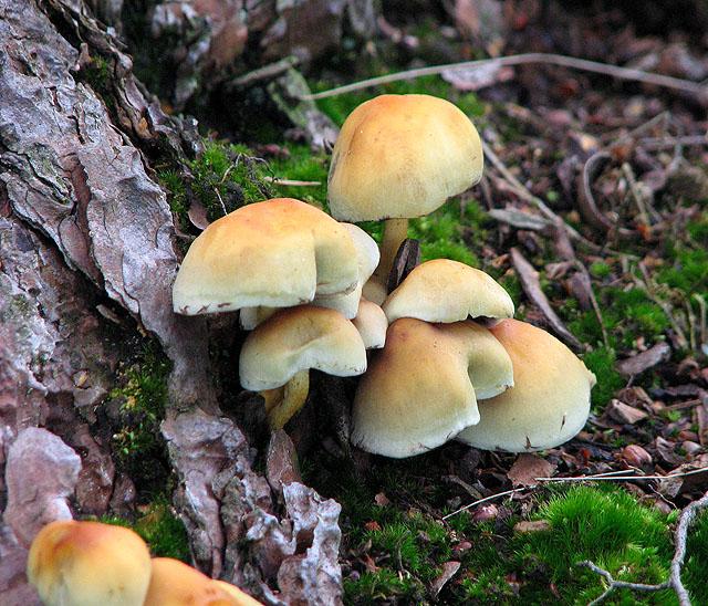 Sulphur Tuft mushrooms (Hypholoma fasciculare)
