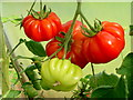 SO6424 : Tomato 'Fiorentino' by Jonathan Billinger
