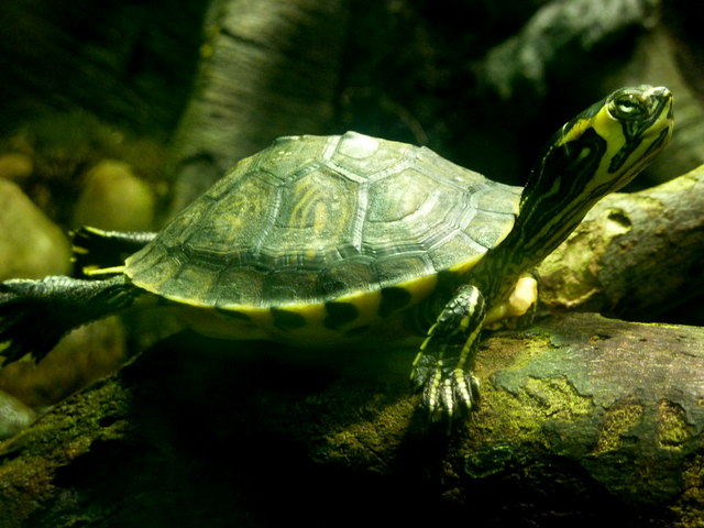 Tortoise in aquarium - photo#16