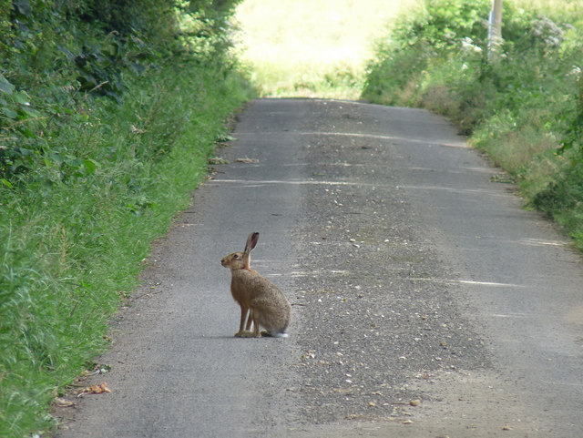 Hare on quiet Kent lane