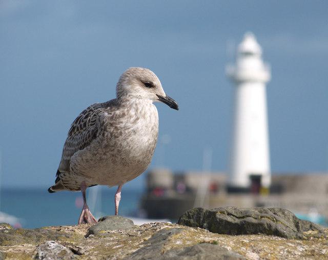 Seagull, Donaghadee