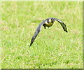 TQ3643 : Peregrine Falcon at the British Wildlife Centre, Newchapel, Surrey by Peter Trimming