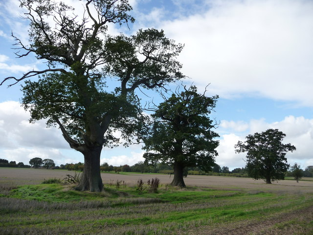 Oak trees, Wrottesley Park